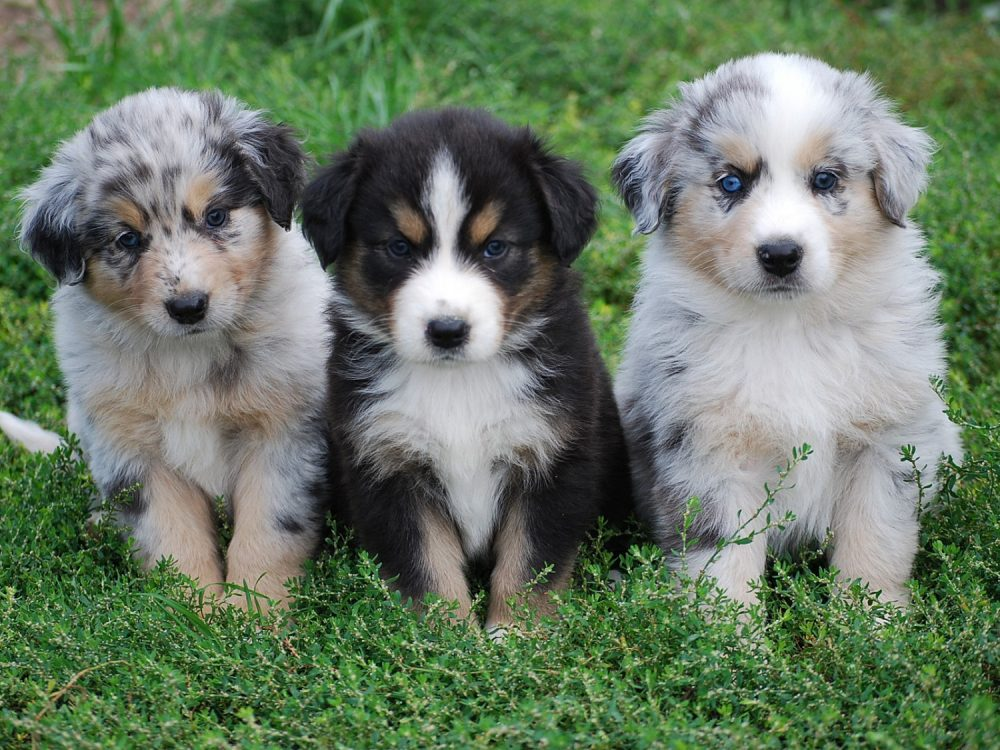 Toy Australian Shepherd - All About Australian Shepherds