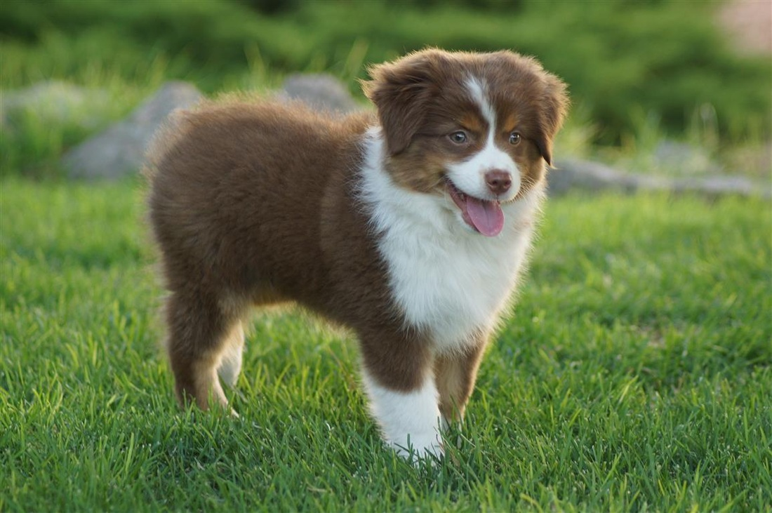 Top Ten Cool Toy Australian Shepherds Facts