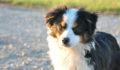 Top Ten Things To Help You Decide Whether You Should Keep A Toy Australian Shepherd