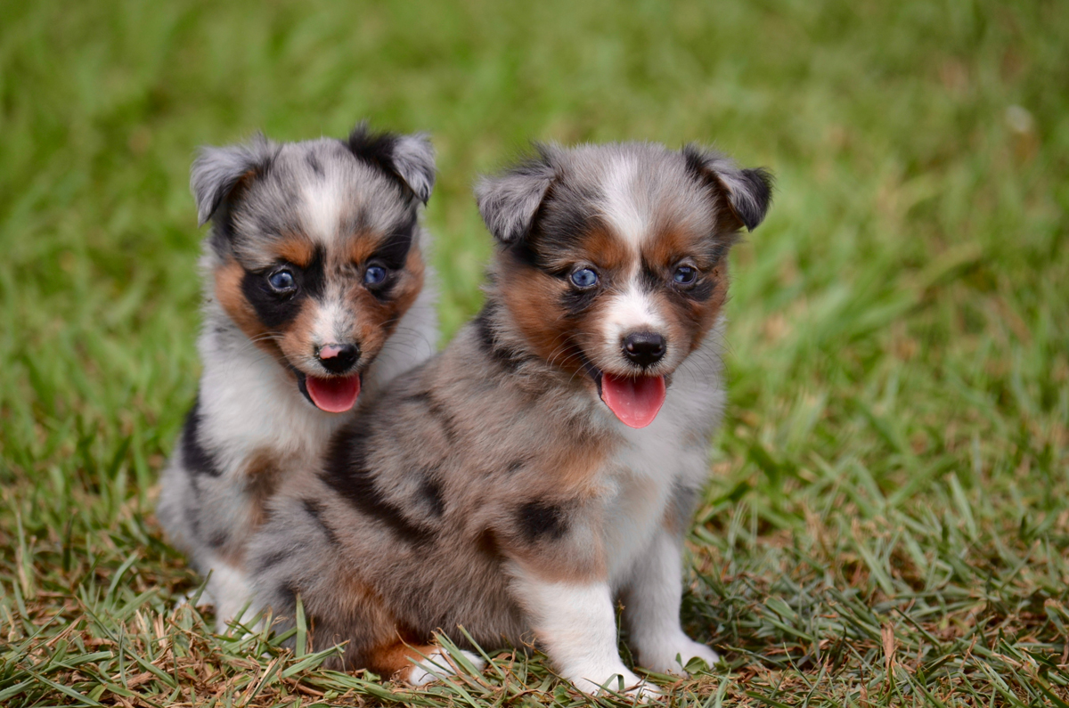 Toy Australian Shepherds - Things To Know About This Breed