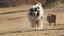 Best Toys for High Energy Toy Australian Shepherd