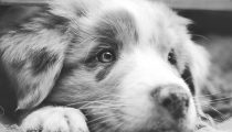 Toy Australian Shepherd Puppy Training
