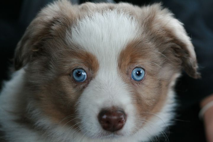 Toy Australian Shepherd Puppy